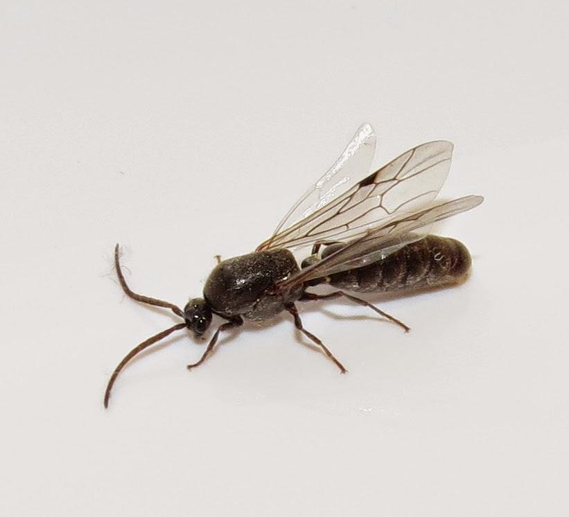 flying ant