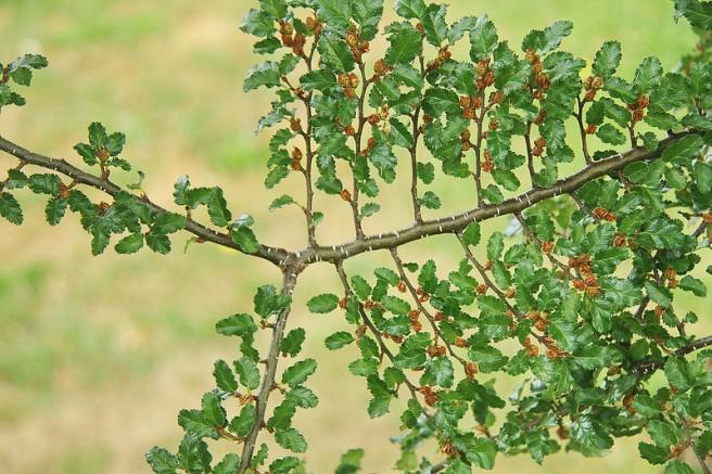 southern beech