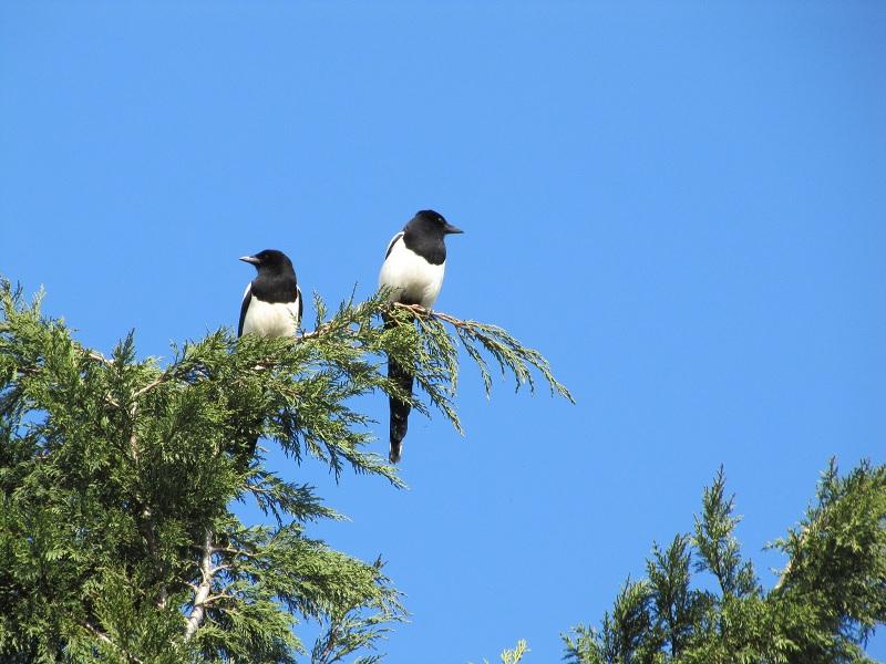 magpies 1