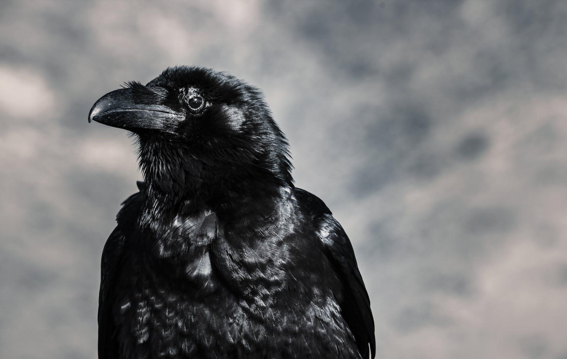 selective focus photograph of black crow