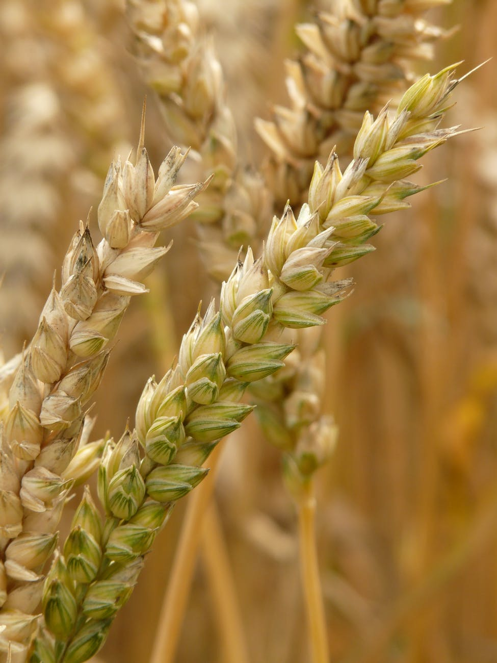 agriculture plant blur wheat