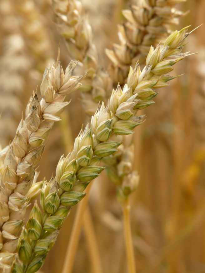 agriculture plant blur wheat