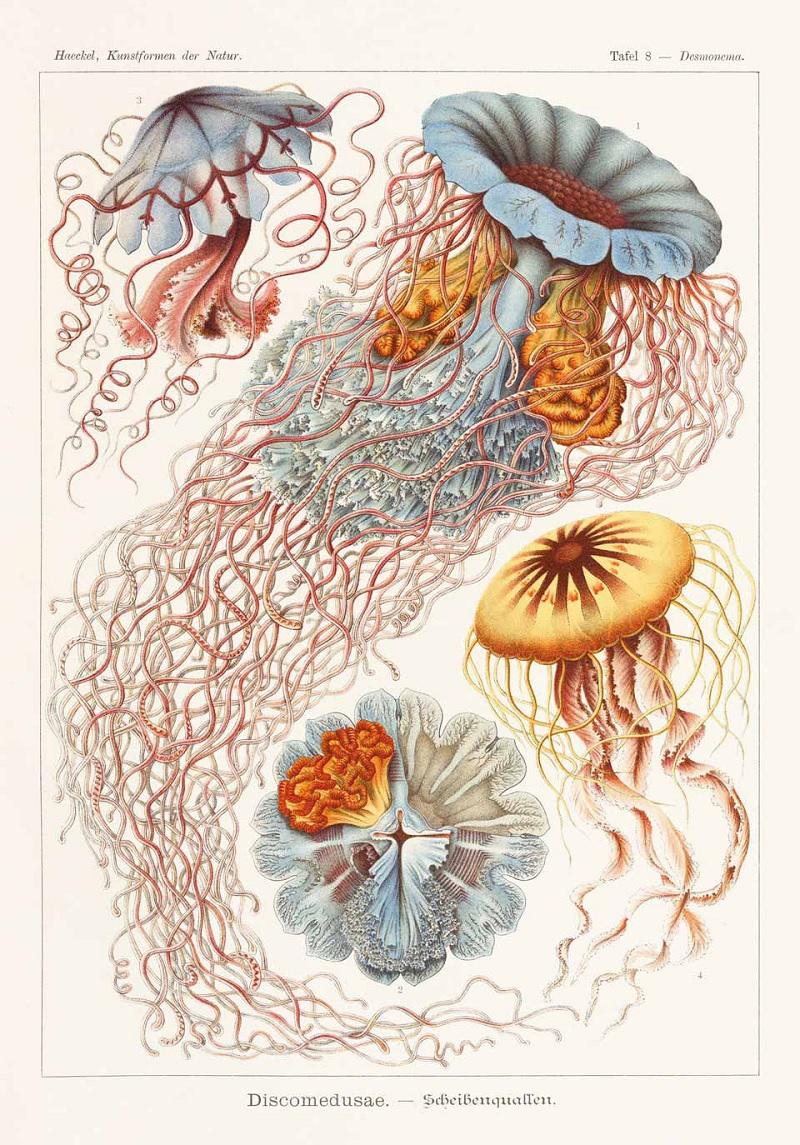 disco medusa