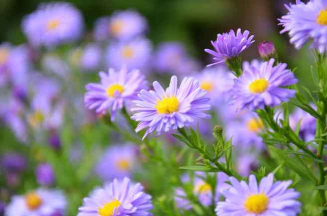 focus photography of purple daisy flowers