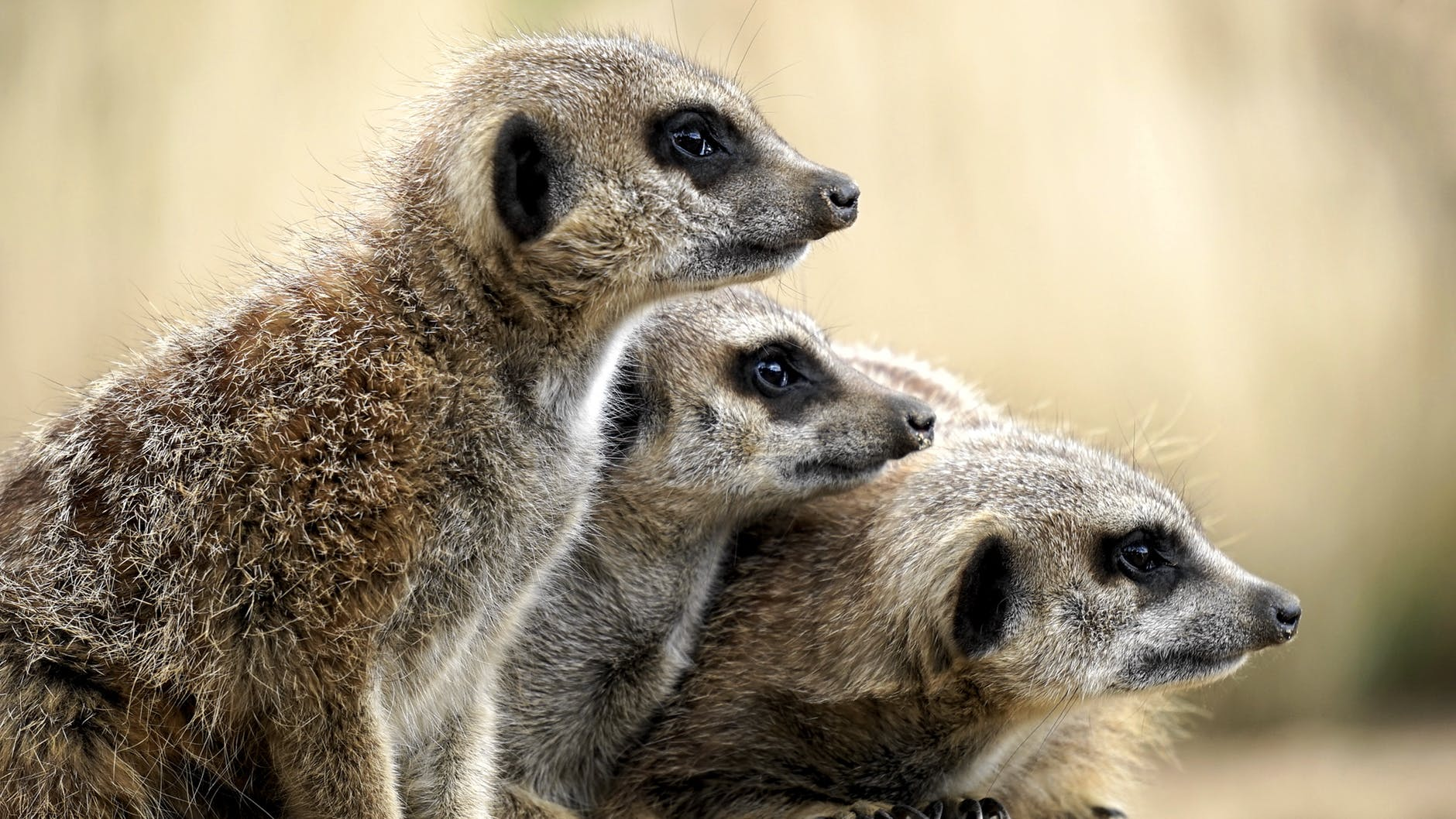 africa animal british close up