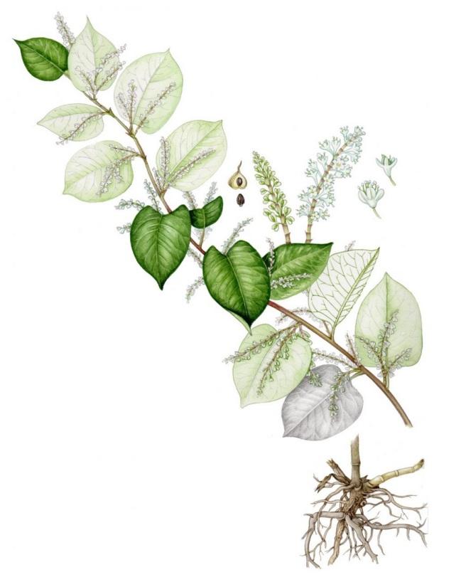 knotweed