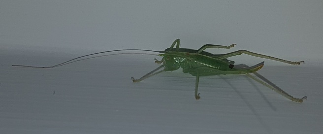 an oak bush-cricket, i think